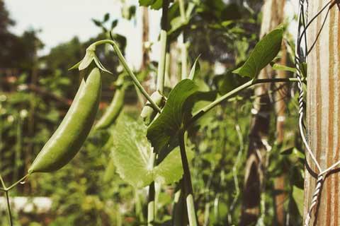 Boontjes oogsten